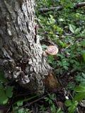 Mushrooming  Morning royalty free stock photos