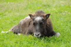 A Baby Musk Ox. Sitting in the grass Stock Photos