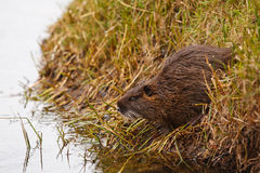 Baby muskrat Royalty Free Stock Photos