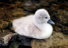Baby Mute Swan - Cygnet Stock Photo