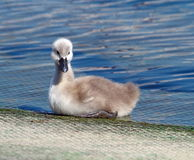 Baby mute swan, cygnus olor Royalty Free Stock Photos