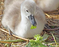 Baby Mute Swan laying on straw bedding and eating greens Royalty Free Stock Photo
