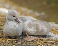 Baby Mute Swan resting and sunning on dry land while his sibling sleeps soundly behind him Stock Photography