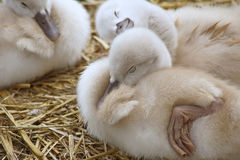 Baby Mute Swan resting and sunning on dry land Stock Photos