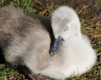 A baby Mute Swan sleeping soundly - 3 days old stock photography