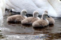 Baby mute swans (cygnets) in water royalty free stock photo