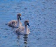 Baby Mute Swans Stock Photo