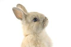 Baby of Netherland dwarf rabbit. 3 months old netherland dwarf on white background Stock Image
