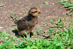 Baby new born chicken on a grass Royalty Free Stock Photo