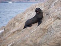 Baby New Zealand Fur Seal on a rock in Esperance, Western Australia royalty free stock photos