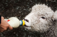 Baby New Zealand lamb is hand fed milk by farmer Royalty Free Stock Image