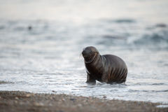 Baby newborn sea lion on the beach in Patagonia Stock Photo
