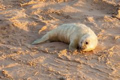 Baby newborn seal pup on the beach. Baby newborn seal with white fluffy coat waiting on the sandy beach for food from mummy. Norfolk coastline at Horsey Gap Stock Photography