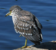Baby Night Heron Royalty Free Stock Images