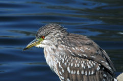 Baby Night Heron Stock Photo