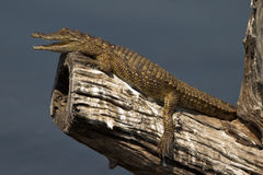 Baby nile crocodile Royalty Free Stock Images