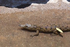 Baby of a Nile Crocodile Stock Images