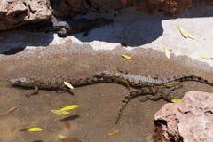Baby of a Nile Crocodile Stock Photo