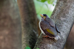 Baby Noisy Miner Bird Royalty Free Stock Photo