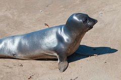Baby Northern Elephant Seal at Piedras Blancas Elephant Seal colony on the Central Coast of California Stock Images
