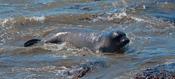 Baby Northern Elephant Seal at Piedras Blancas Elephant Seal colony on the Central Coast of California Stock Photo