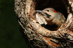 Baby Northern Flicker Royalty Free Stock Photo