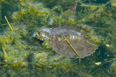 Northern Map Turtle. Baby Northern Map Turtle floating with the moss on the surface of the water. Humber Bay Park, Toronto, Ontario, Canada Stock Photography