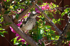 Baby Northern Mockingbird in bougainvillea branches. A baby Northern Mockingbird chick is perched on a bougainvillea branch looking to the right, early afternoon Royalty Free Stock Photo