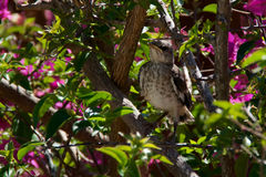 Baby Northern Mockingbird in bougainvillea bush Royalty Free Stock Image