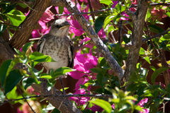 Baby Northern Mockingbird chick in bougainvillea bush. A baby Northern Mockingbird chick is perched on a bougainvillea branch looking to the right, early Stock Photography