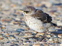 Baby Northern Mockingbird on Road Stock Photos