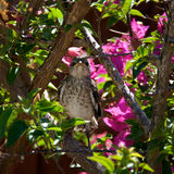 Baby Northern Mockingbird in tree. A baby Northern Mockingbird chick is perched on a bougainvillea branch looking directly at viewer, early afternoon in Bonita Royalty Free Stock Photo
