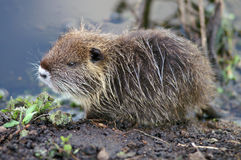 Baby nutria Royalty Free Stock Photo