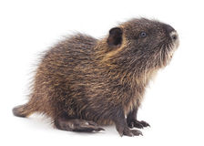 Baby nutria. Stock Images