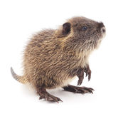 Baby nutria. Royalty Free Stock Image