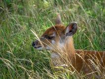 Baby Nyala antelope Royalty Free Stock Photo
