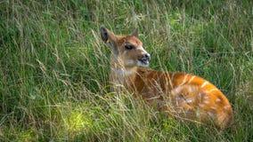 Baby Nyala antelope Royalty Free Stock Image