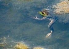 Baby-Ochsenfrosch, der in Teich schwimmt lizenzfreie stockbilder