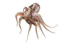 Baby octopus Royalty Free Stock Photo