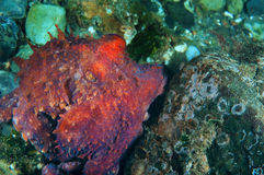 Baby Octopus Stock Photo