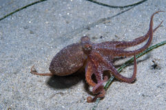 Baby Octopus Royalty Free Stock Photos