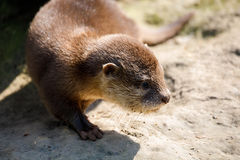 Free Baby Of European Otter Lutra Lutra Stock Image - 89868361