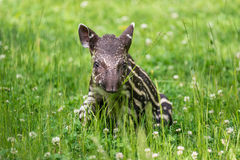 Free Baby Of The Endangered South American Tapir Stock Photography - 58650542