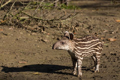 Free Baby Of The Endangered South American Tapir Stock Photo - 61331070