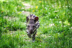 Free Baby Of The Endangered South American Tapir Stock Photo - 68564840