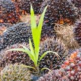 Baby oil palm tree Stock Photos