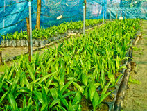 Baby oil palm trees in nursery Stock Images
