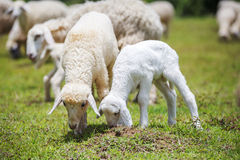 Baby and old sheep on grass stock photos
