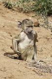 Baby olive baboon Stock Photos