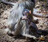 Baby olive baboon held by its mother Royalty Free Stock Photography